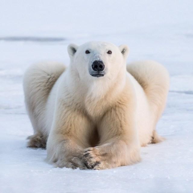 janet-the-polar-bear-nanuk-polar-bear-lodge-george-turner-photo